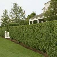 Sentinel Shrub | The Privet Hedge | This Old House