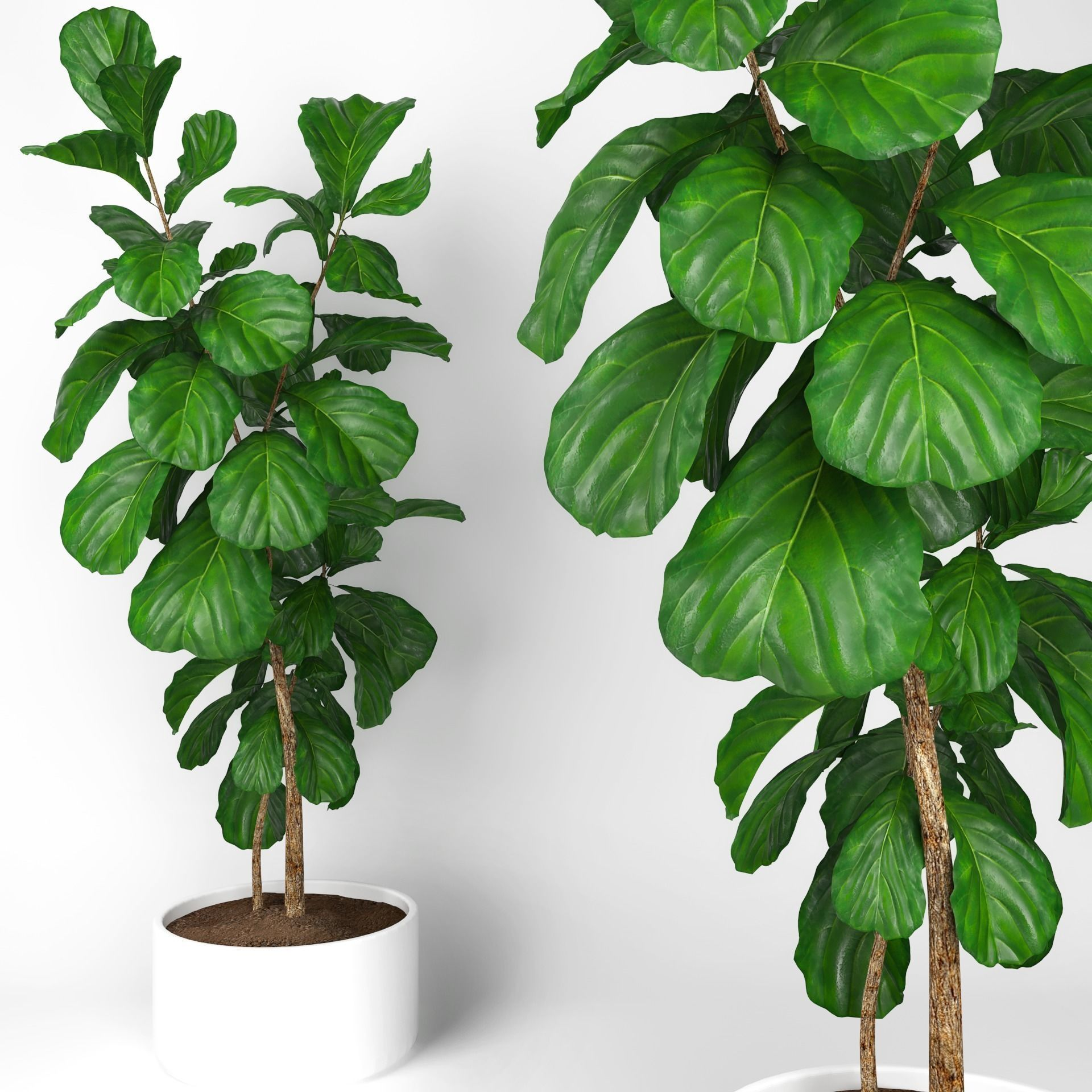 Fiddle Leaf Fig Tree Fiddle Leaf Fig Tree Image Home Garden And Tree Rtecx Com