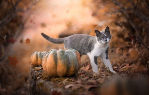 Falling Leaves Wallpaper Blackberry Wallpaper Cat Autumn Falling Leaves Grey With White