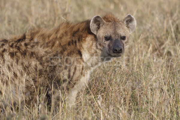 Baby Zwembad Jungle Hyena Stockfoto's, Afbeeldingen En Vectoren | Stockfresh