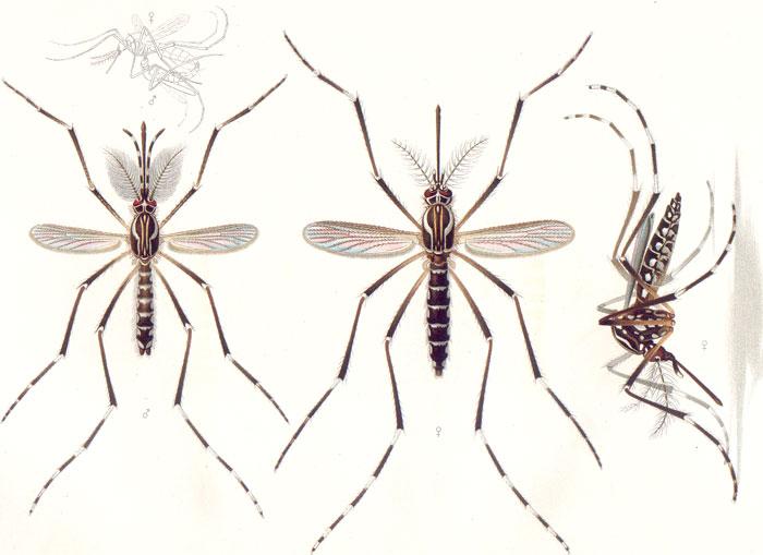 Planche réalisée par Emil August Goeldi en 1905 représentant un moustique Aedes aegypti mâle (à gauche) et femelle (au centre et à droite)