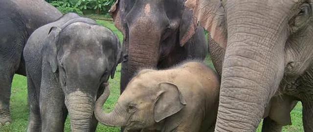 Elephants - The gentle giants
