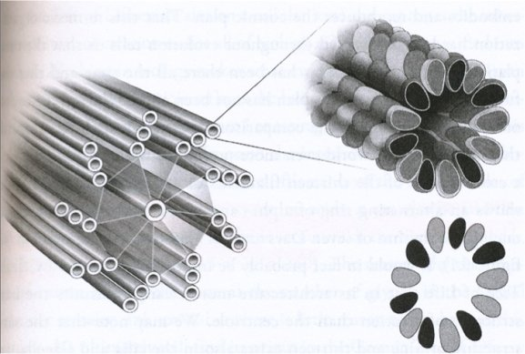 centrioles2