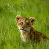 2 yaşına erişene kadar aslanlar kükreyemez. Kükremeyi öğrendikleri zamansa kükremeleri 5km uzaklığa kadar ulaşır.