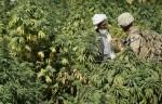 Marijuana Fields In Afghanistan