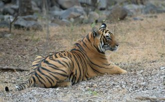 India's tiger population rises 30% in four years