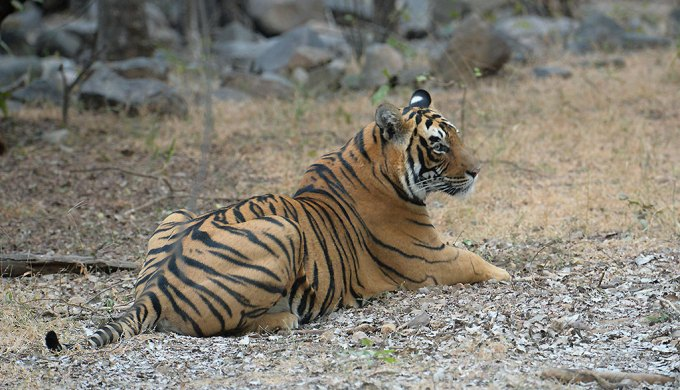India reports a 30% increase in the tiger numbers over the last four years (Image by Koshy Koshy)