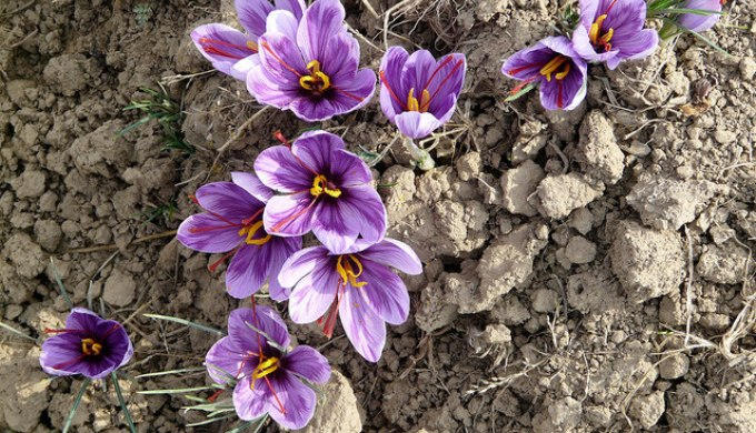 Saffron is one of the most expensive spices in the world (Image by Partha S. Sahana)