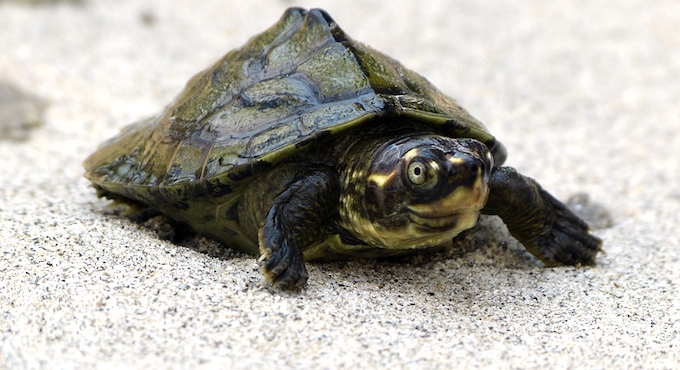 A three-striped roofed turtle.