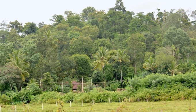 Growing coffee in the shade of evergreen trees in Kogadu. (Photo by Gopikrishna Warrier)