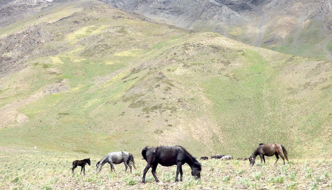 Chumurti horses graze in a high-altitude pasture. (Photo by Janaki Lenin)