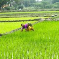 Climate change is hitting staple crops