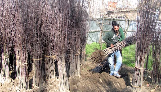 Farmers in Kashmir are converting paddy land into orchards (Photo by Athar Parvaiz)