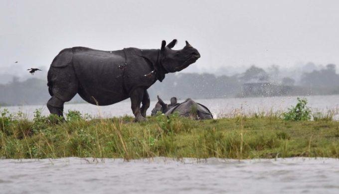 A rhino stranded by flooding in the Kaziranga National Park [image by: Biju Boro]