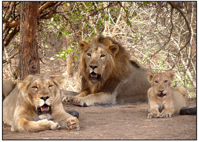 Gir Lions (Photo courtesy: Wikipedia)