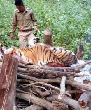 Forest officials at Corbett burning the carcass of tigress as per protocol