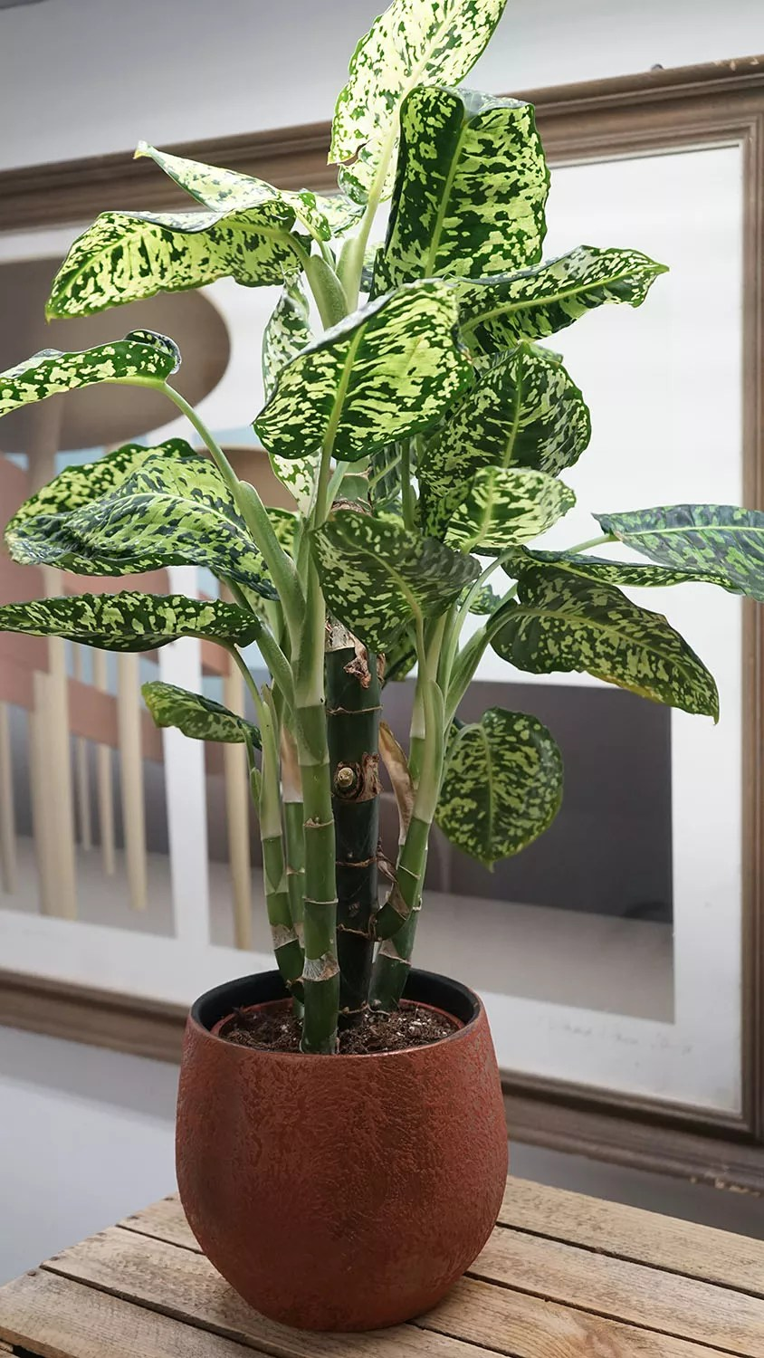Indoor Plants For The Office Freckle Face Dieffenbachia Indoor House Plants Office Plants