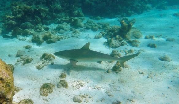 Lemon shark, Carcharhinus perezii