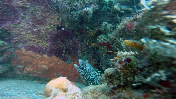 Murena i yellowline arrow crab