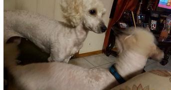 兩頭白色狗狗生下全黑的狗仔,狗爸一臉懵逼的眼神,懷孕狗媽亂搞