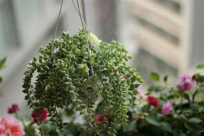 家居養花:4種能養成瀑布狀的多肉植物,垂吊起來養的多肉植物!