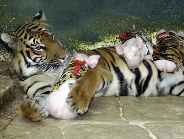 虎媽的孩子竟是一群小豬仔,沒想到故事背後令人如此溫暖!