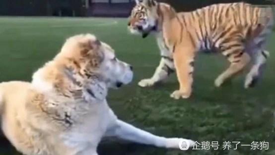 老虎求狗狗玩耍,狗狗的這眼神,藐視一切