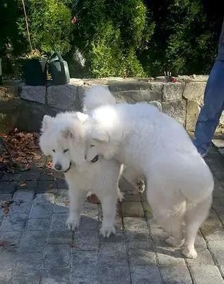 狗狗情侶獲救後重逢時激動到不停擁抱,凄美愛情故事現在很幸福