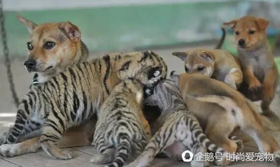 被老虎媽媽拋棄的小崽子,狗狗充當起了媽媽的角色!