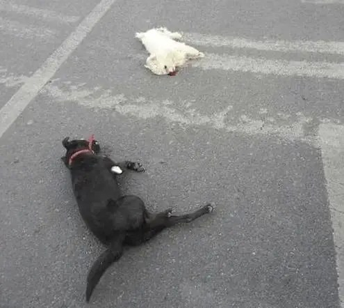 狗是人最忠誠的朋友,各位車友,如果看到路上有血泊中的狗狗,因為愛,請留情