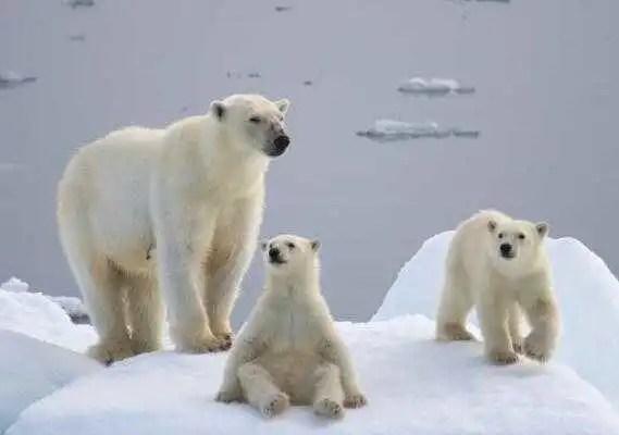 北極熊媽媽帶孩子捕食,浮冰突然斷裂!反應讓人揪心