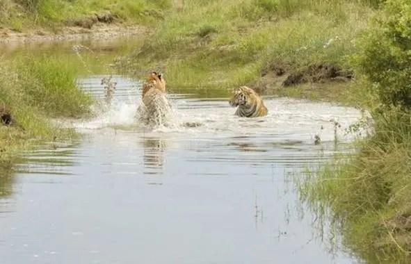 小虎離開虎媽媽之後便開始在水中嬉戲了,離開虎媽也沒什麼不好!