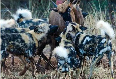 牛羚慘被野狗群撕咬,直接被扯住腦袋尾巴掏肛活吃,牛羚眼神絕望