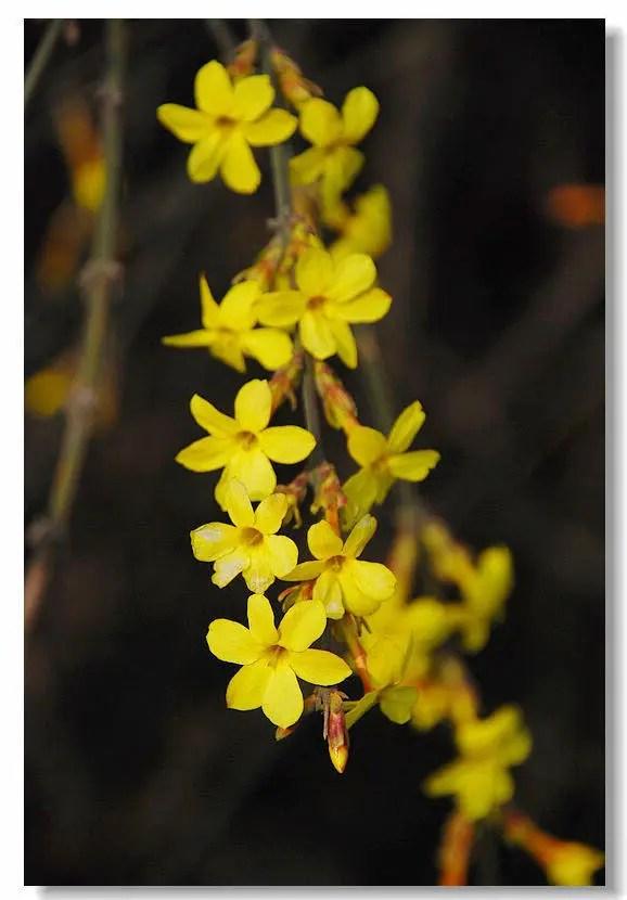 春天看到的第一朵花竟然是它!