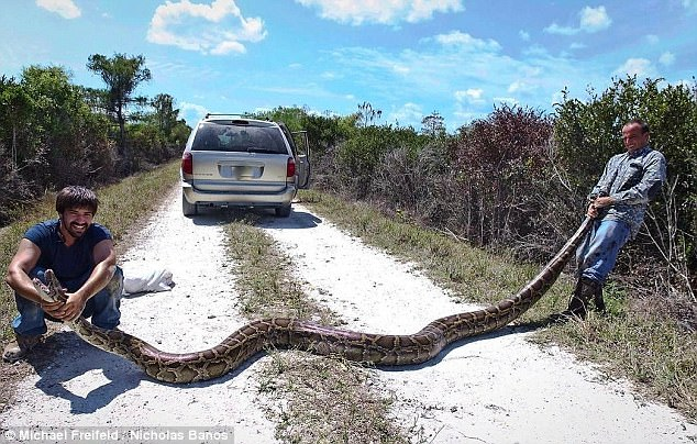 男子捕獲5米長巨蟒 美國蟒蛇泛濫竟是美國人的錯