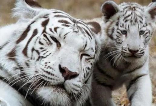 小白虎跳到媽媽臉上搗蛋,白虎媽媽怒了,攬到懷裡胖揍一頓