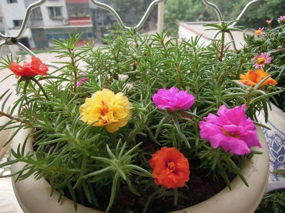 家居養花:不用管反而更能爆盆的花卉,這些花卉不能寵!