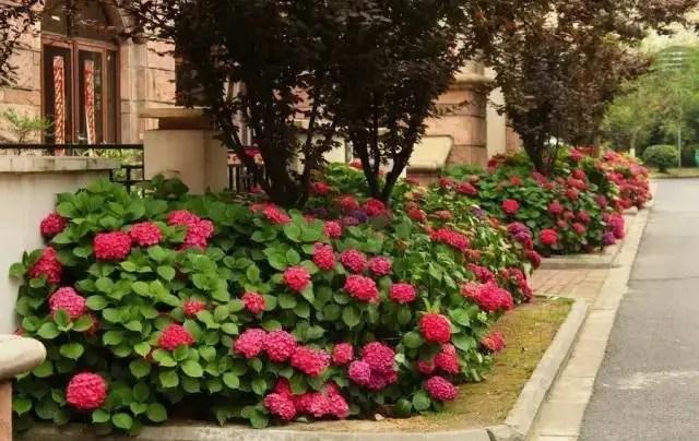 易花得木:八仙花和木繡球您能分辨嗎?