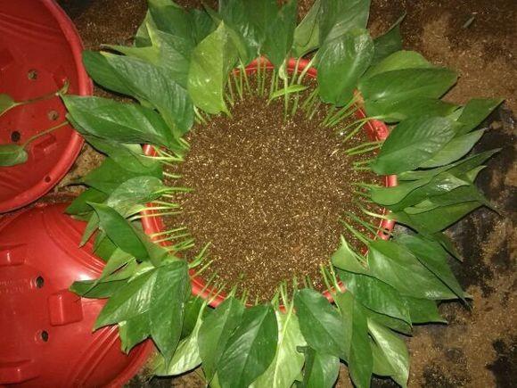 綠蘿不管水培還是土培,都滿滿一大盆是種什麼體驗?