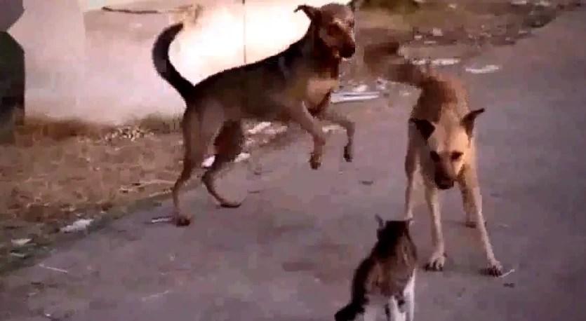 一隻貓獨戰一群狗,沒想到卻是這樣的結局,太慘了!