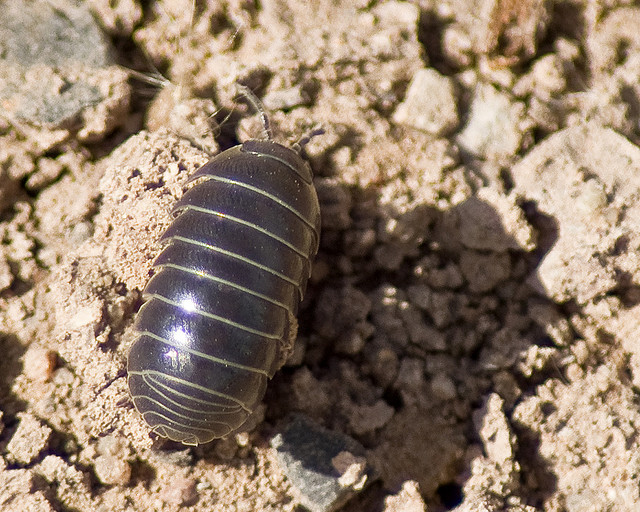 The Secret Life of Pill Bugs - The Infinite Spider
