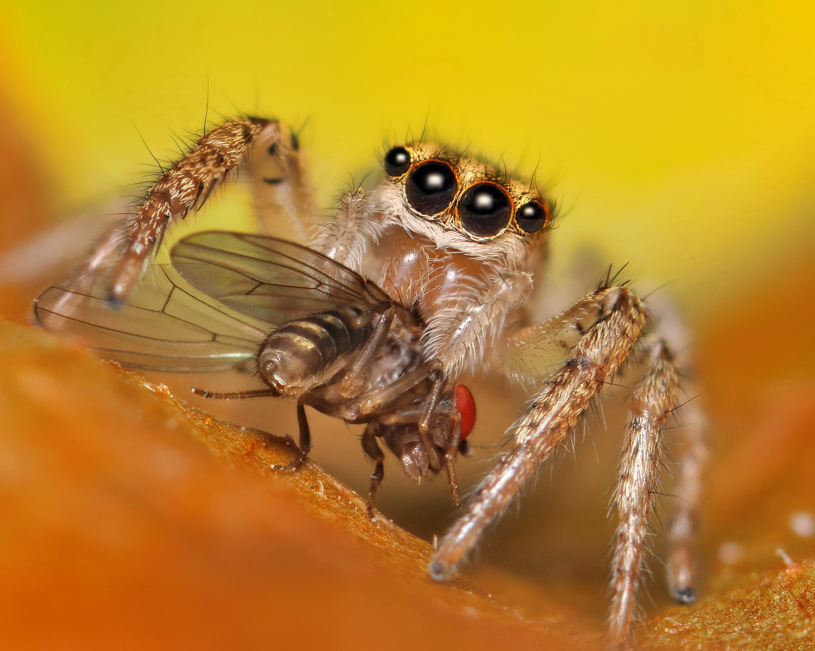 Cute Jumping Spider Wallpaper How Spiders Eat The Infinite Spider