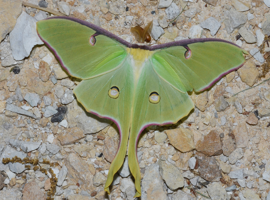 Five Facts About the Luna Moth - The Infinite Spider