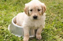Stravovací zlozvyky psů