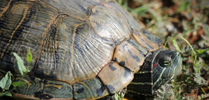 Při nemoci je třeba chovat želvu v karanténě