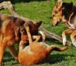 Psi jsou zvířata společenská