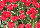 Tulipes en fleur pour souligner 70 ans d'amitié Pays-Bas – Canada