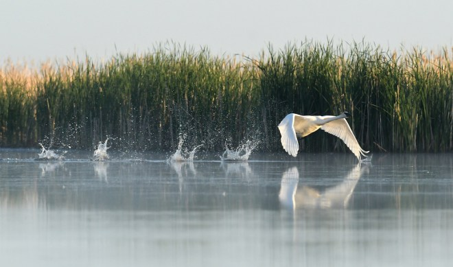 Trumpeter swan, taking off.
