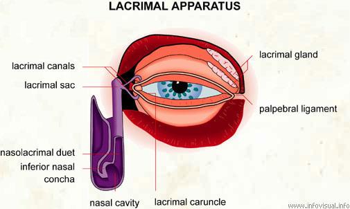 Lacrymal apparatus - Visual Dictionary