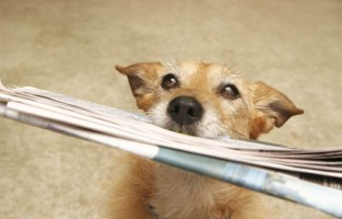 dog, using, old, newspaper, newspapers, reusing